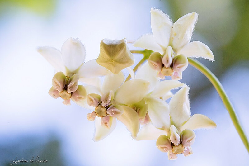 wb_Fleur gomphocarpus physocarpus_20190919_1073b
