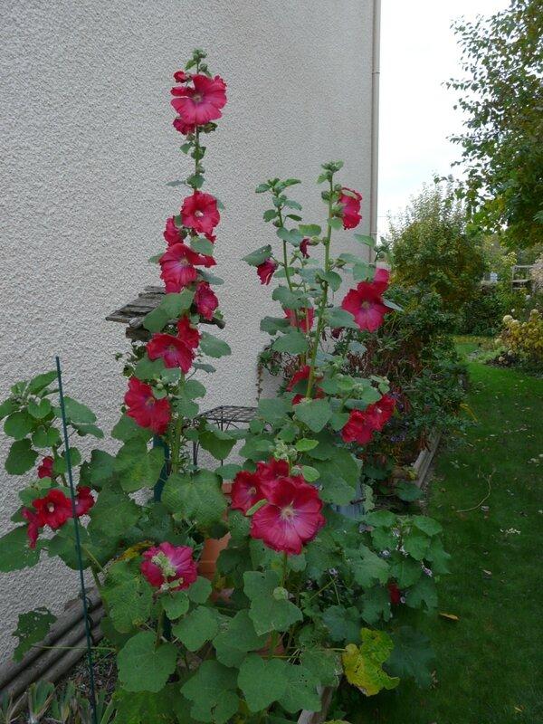 10 - Roses trémière
