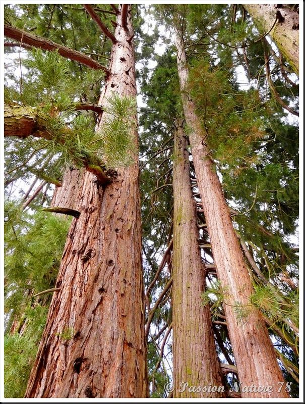Le séquoia (3)