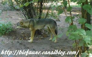 PHOTO LOUP BLOG