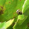Coccinelle à 14 points • Propylea quattuordecimpunctata
