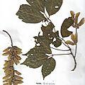 Herbier acer cissifolium erable à feuilles de vigne