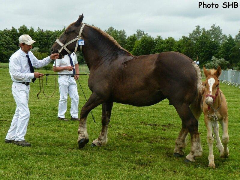 Mirabelle du Boncoin - Concours Elevage local - Bourbourg (59) - 17 Juin 2014 - Photo SHB