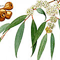 Plante de eucalyptus pour guérison