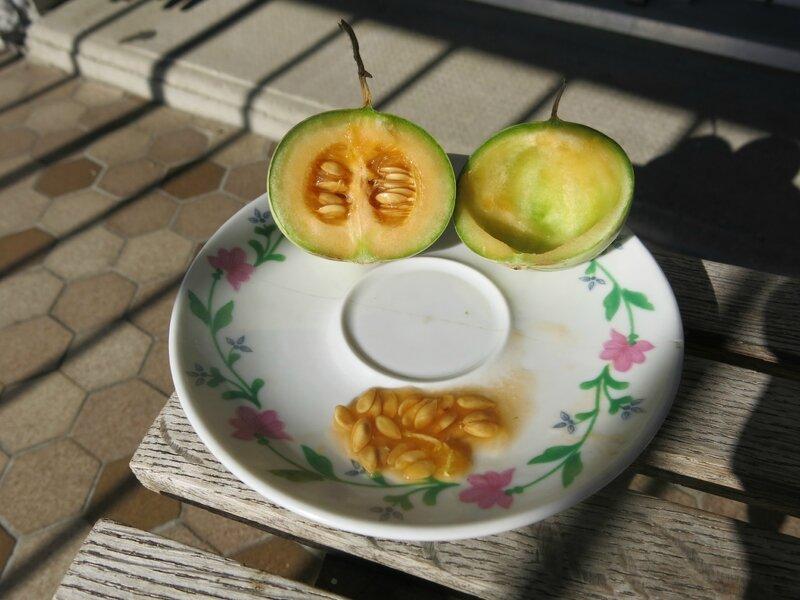 mini melon graine