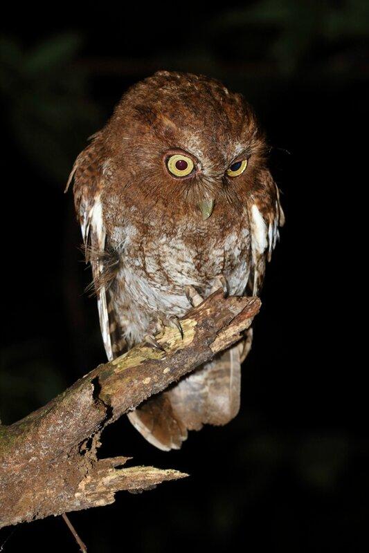 Megascops roraimae - Petit-duc du Roraima