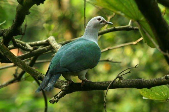 Ducula aenea2_Taman Burung_XRu