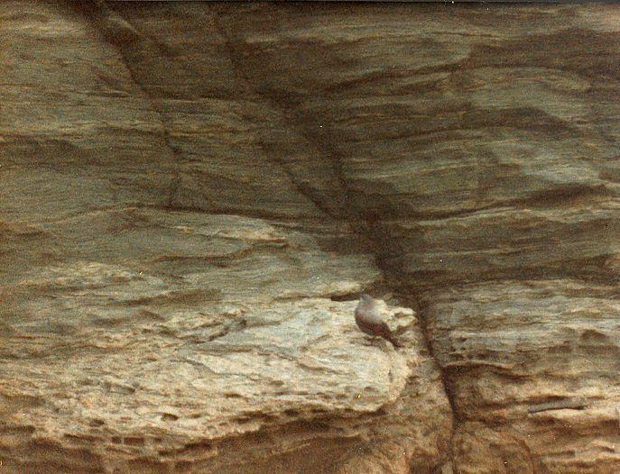 Tichodrome échelette