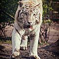tigre blanc du bengale pessac