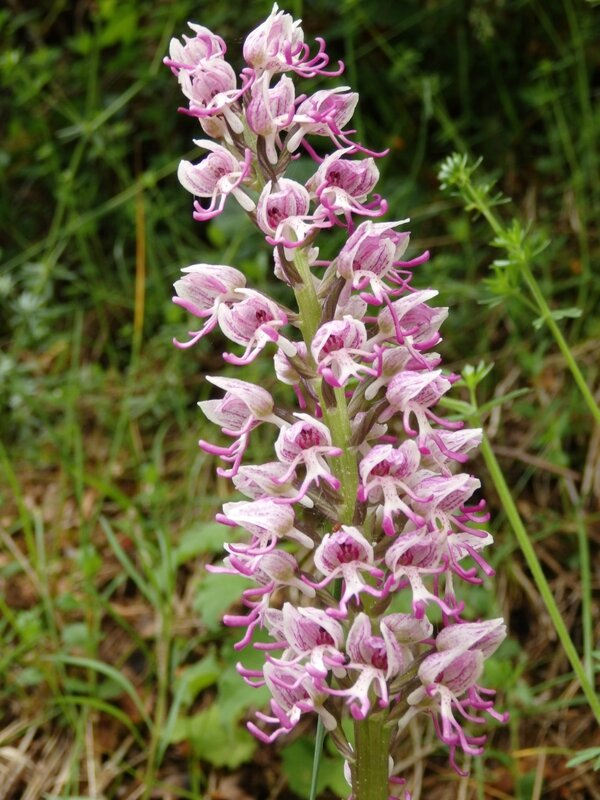 orchis singe (2)
