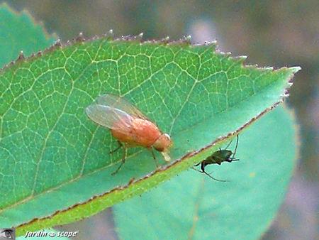 Drosophila_melanogaster_3