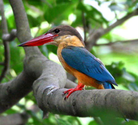 Stork_billed_Kingfisher_I_IMG_7407