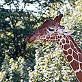 girafe beauval
