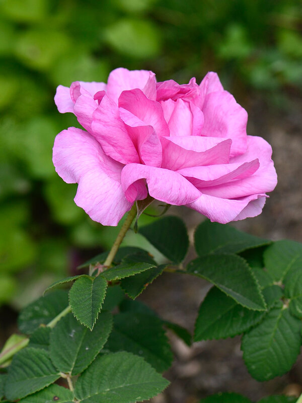 Rose Adélie 1 16-05-17
