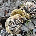 Boletus appendiculatus (1)