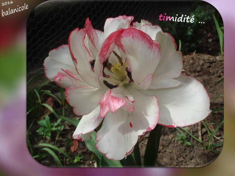 balanicole_2016_05_avril tulipes_35_timidité