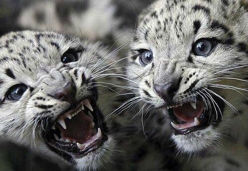 leopard bebe60645859_n