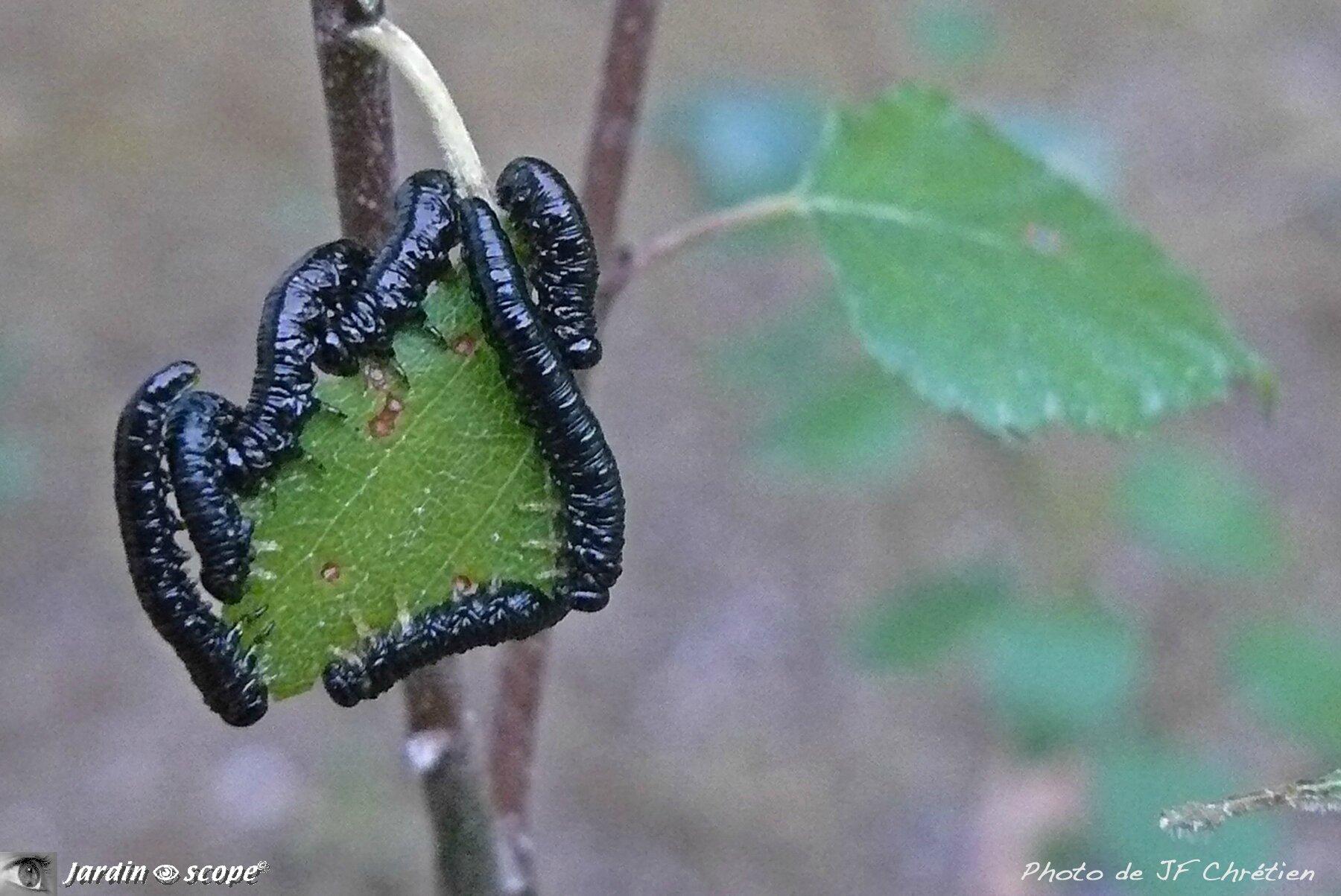 Tenthrède du Bouleau • Craesus latipes • Famille des Tenthredinidae