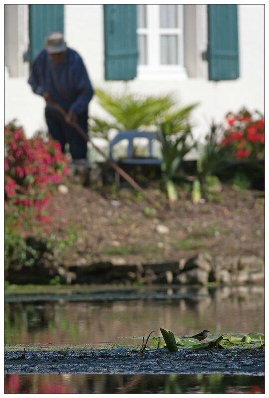 Roussille jardinier bergeronnette 170814 2