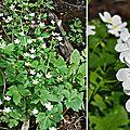 Renoncule à feuilles de platane (renonculacées)