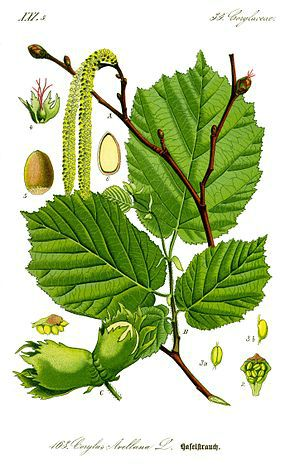 290px-Illustration_Corylus_avellana0_clean