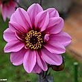 Dahlia Fashionissimo (label Rouge)
