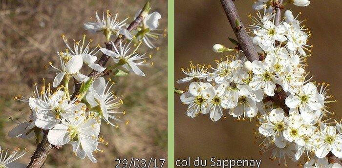 Fleurs blanches solitaires ou groupées en corymbe