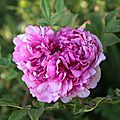 Rose de Gourdon