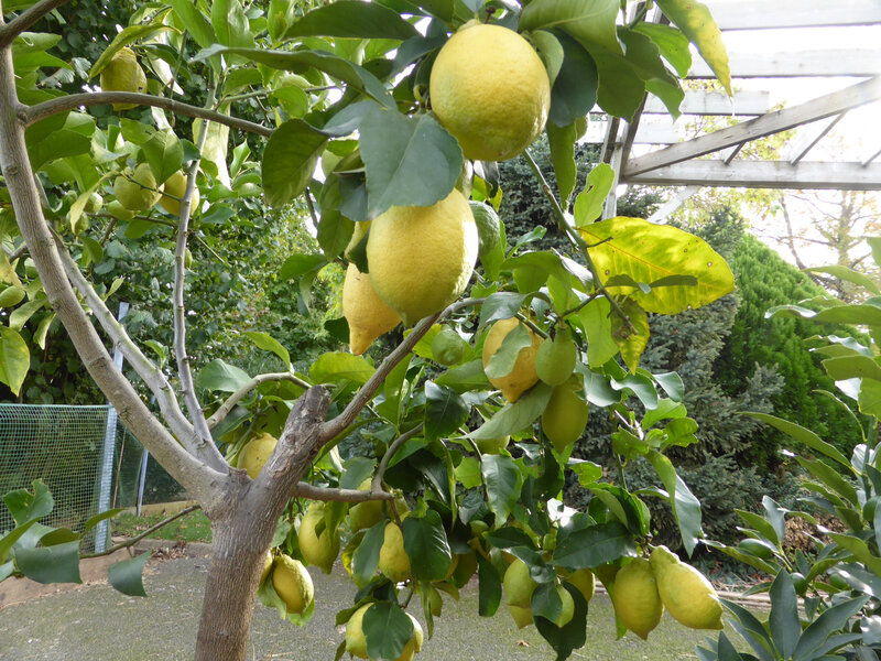 23-agrumes, citronniers (17)