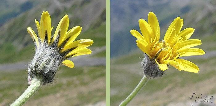 involucre laineux à folioles lancéolées-aiguës ligules jaune d'or