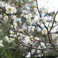 20 fev 07 kairakuen ume fleurs 8_16