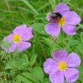 Bufone_nantu_a_fior_di_muchju_Bourdon_sur_fleur_de_cyste
