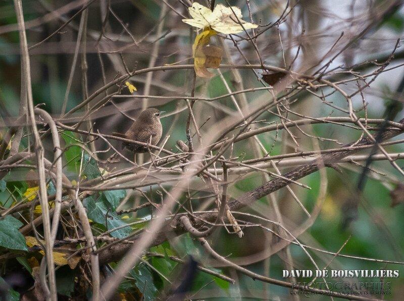 Troglodyte mignon (Troglodytes troglodytes - Eurasian Wren)