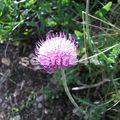 008_17_Gouille de Salin_fleur de montagne
