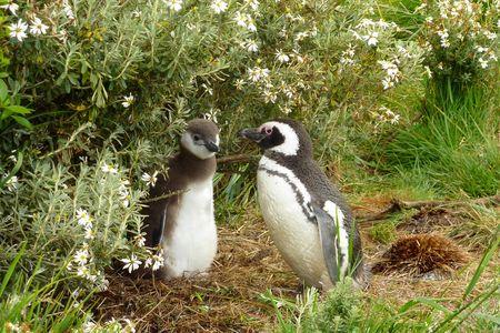 Pingouins_1