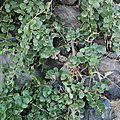 Ingrédients : câpres, feuilles, fruits et boutons floraux du câprier