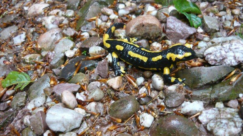 2011 05 31 Salamandre