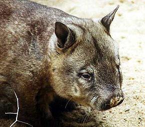 wombat du Nord