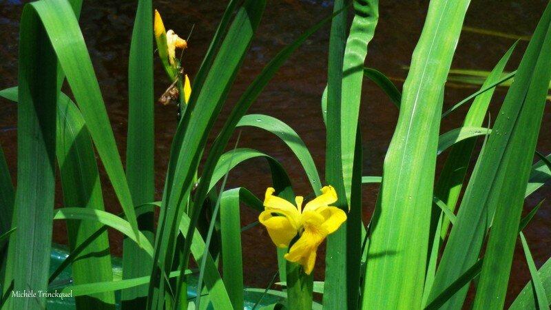 Iris aquatiques 1704164