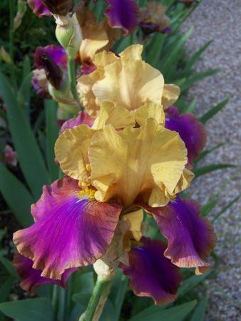 iris_jaune_violet_g