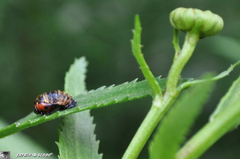 Nymphose d'une coccinelle