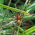Chiracanthe ponctué - Cheiracanthium punctorium