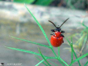 criocère • Lilioceris lilii