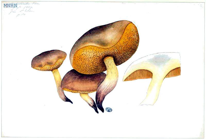 41 Boletus collinitus b