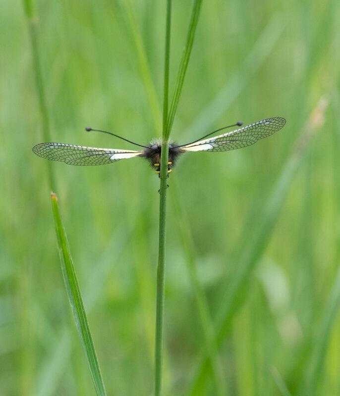 Ascalaphe soufré - Libelloides coccajus (6)