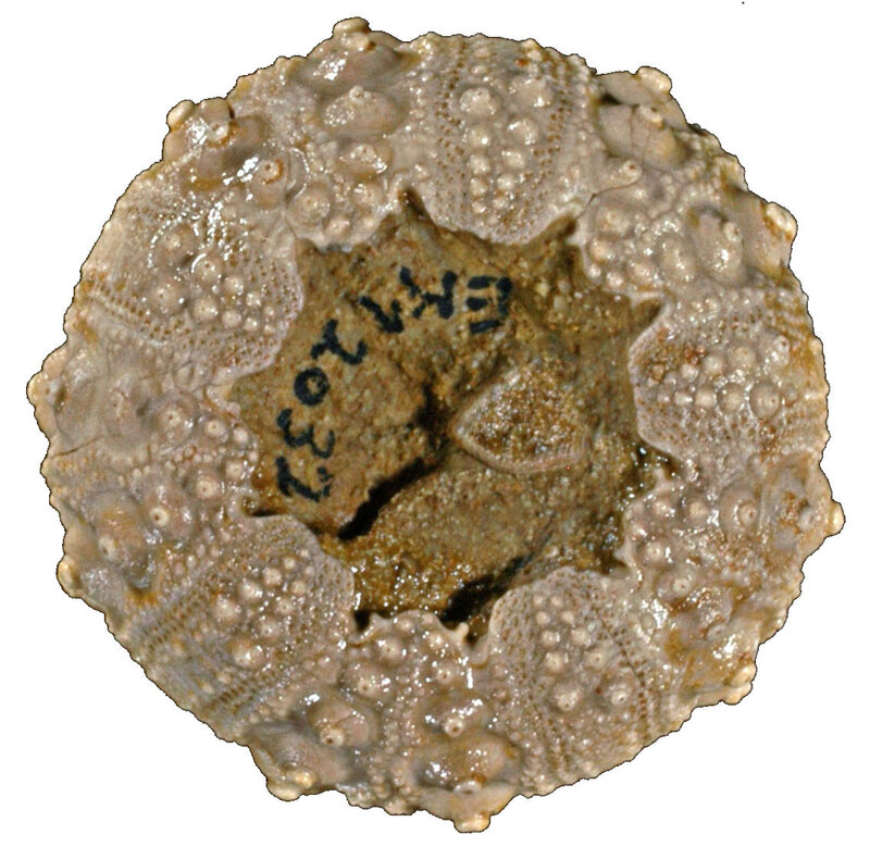 Hemicidaris delaunayi 12032i