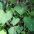coeur (Aristolochia gigantea jardin de plantes)_8922