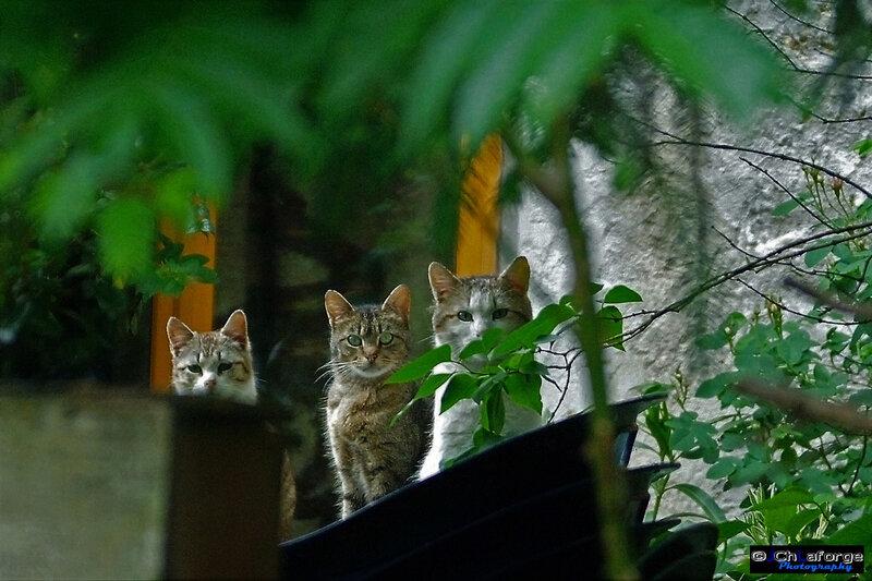 Les 3 chats BOUEX La Petitie Mai 2008