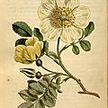 Curtis 1813 Rosa Hispida