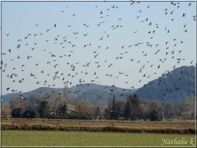 2607pigeons14nov2011